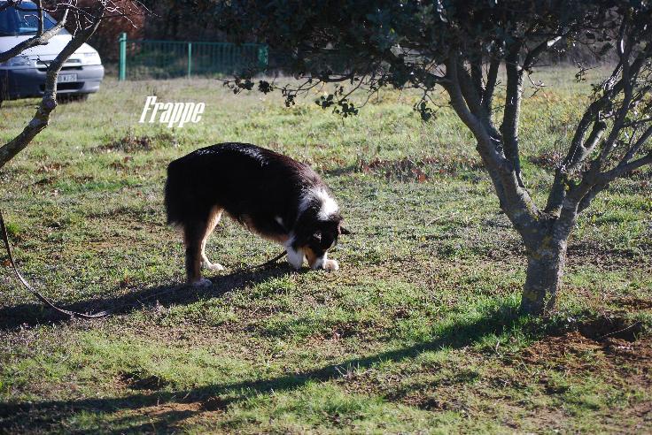 bergers australiens dressés pour le cavage